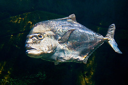 African pompano, adult, Alectis ciliaris, Oahu, Hawaii, USA, Pacific Ocean (c)