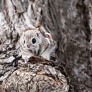 This is a male Japanese dwarf flying squirrel (Pteromys volans orii). This sub-species of Siberian flying squirrel, found only in Hokkaido, Japan and known locally as ezo-momonga, is primarily nocturnal. This imdividual was active during the day because it was competing for the attention of a female in oestrous. The squirrel took a moment here to scratch his back.
