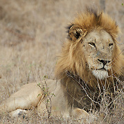 Africa Lion, large male, South Africa.