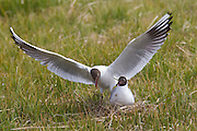 A black-headed gull (Larus ridibundus) lands next to its nesting mate on the Snæfellsnes peninsula in Iceland. It breeds in colonies in large reedbeds or marshes or on islands in lakes, and nests on the ground.
