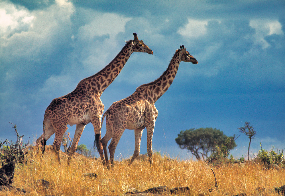 Masai, or common, giraffe search for food in Serengeti National Park, Tanzania