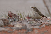 Wildlife bird from Valley of Fire State Park for sale