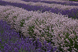 North America, United States, Washington, Sequim, rows of different shades of lavender in field at Lavender Festival, held annually each July