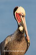 00672-00710 Brown Pelican (Pelecanus occidentalis), La Jolla cliffs, La Jolla, CA