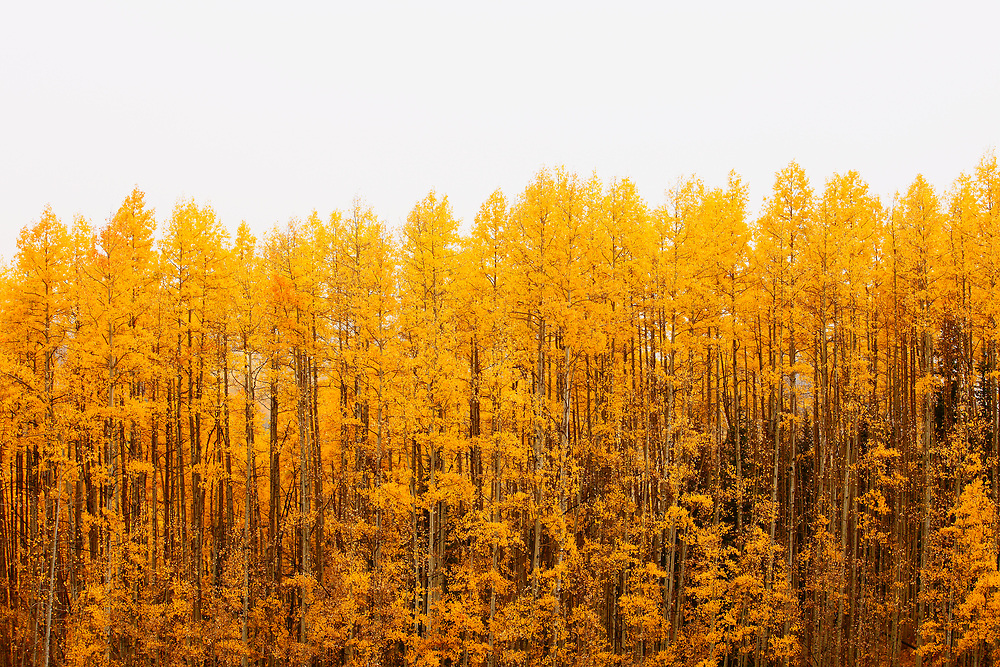 QUAKING ASPENS AND WHITE SKY, AUTUMN, RIPPLE CREEK PASS, ROUTT NATIONAL FOREST, COLORADO