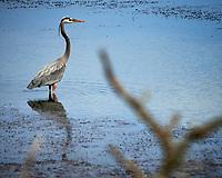 Great Blue Heron.  Biolab Road, Merritt Island National Wildlife Refuge. Image taken with a Nikon Df camera and 300 mm f/4 lens (ISO 140, 300 mm, f/8, 1/640 sec).