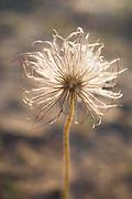 "The small pasque flowers (Pulsatilla pratensis) with fruits and occasional flower buds growing on coastal dunes in late afternoon, nature reserve ""Užava"" (dabas liegums ""Užava""), Kurzeme, Latvia Ⓒ Davis Ulands | davisulands.com"