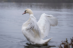 © Licensed to London News Pictures. 29/11/2020. RICKMANSWORTH, UK.  A swan at Rickmansworth Aquadrome in Hertfordshire.  A spate of dying swans have been reported across the UK, suspected to be caused by the H5N8 avian influenza strain, brought in by wild birds migrating across Europe.  The Department for Environment, Food and Rural Affairs (DEFRA) confirmed an HN58 outbreak at a turkey fattening premises near Northallerton on November 28. Outbreaks already confirmed among captive birds in other areas of the country raising fears that poultry might be wiped out this winter.  Photo credit: Stephen Chung/LNP