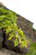 Tilted view of vine shoots growing over a stone wall.
