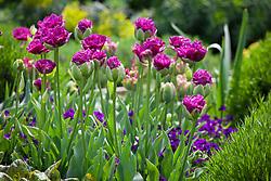 Tulipa 'Purple Tower' and T. 'Boa Vista' with Viola 'Martin'