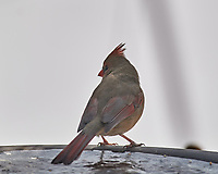Female Northern Cardinal. Image taken with a Nikon D5 camera and 600 mm f/4 VRII lens