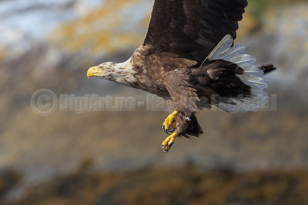 White-tailed Eagle with solid claws and killerinstinct | Havørn med solide klør og drapsinstinkt.
