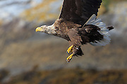 White-tailed Eagle with solid claws and killerinstinct | Havørn med solide klør og drapsinstinkt.