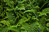 Western Sword Fern, (Polystichum munitum) and Common Bracken Fern {Pteridium aquilinum} Kitsap Peninsula, Puget Sound, Washington state, USA