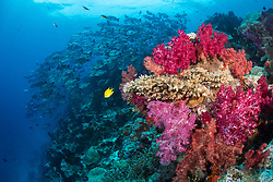 Colorful Dendronepthya soft corals and various reef fish thrive in brisk currents at Nigali Passage, Gau, Fiji, Pacific Ocean
