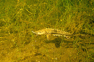 Lake Sturgeon (fingerling)<br />