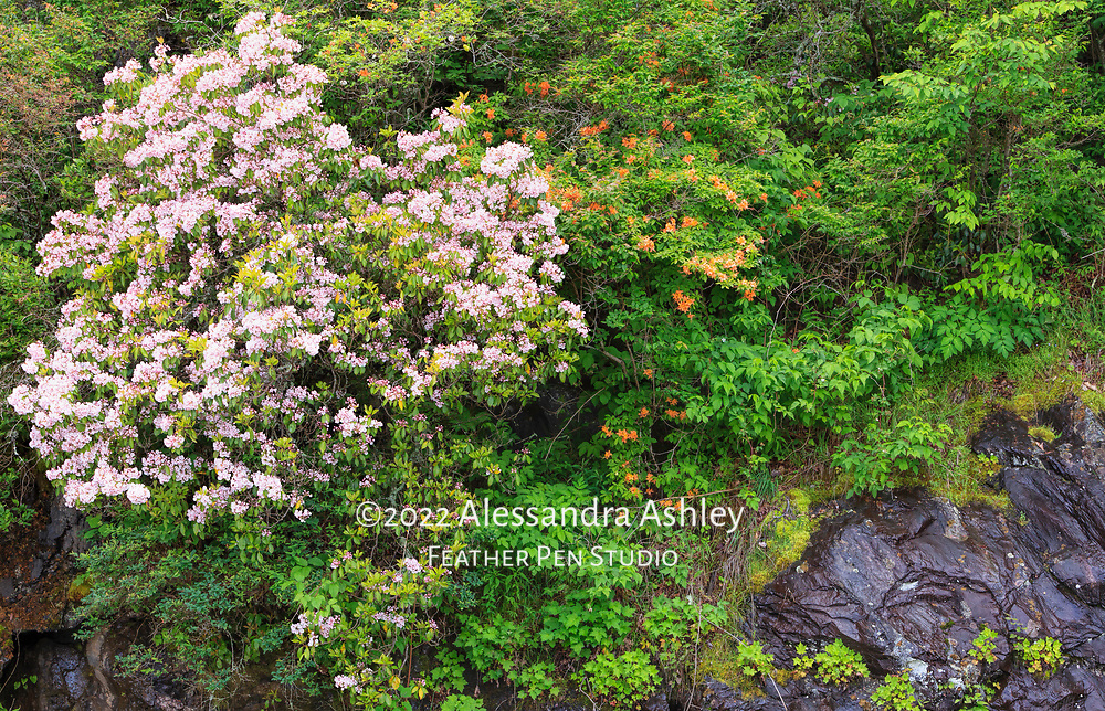 Mountain laurel and fire azalea blooming in the wild on mountainside.
