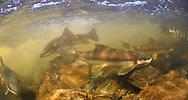 Longnose Suckers<br /> <br /> Paul Vecsei/Engbretson Underwater Photography