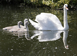 © Licensed to London News Pictures. 08/06/2021. London, UK. Signets follow a swan on a sun drenched River Thames in south west London.The warm sunny weather continues with high temperatures and sunshine. Photo credit: Peter Macdiarmid/LNP