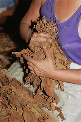 Handling tobacco leaves at the Partagas cigar factory in Havana; Cuba,