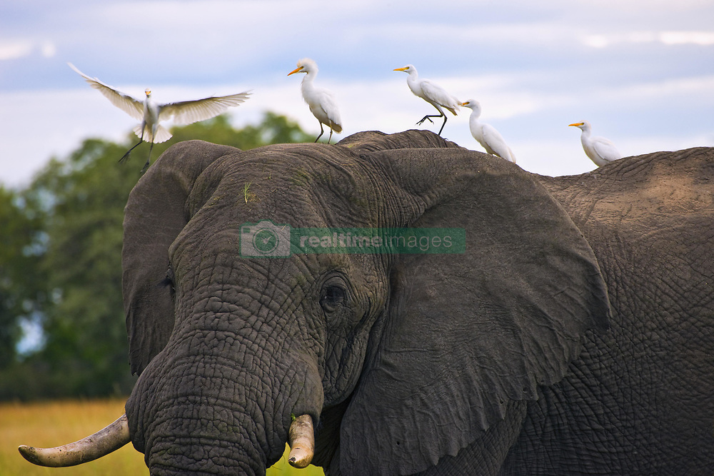 July 21, 2019 - African Elephant (Loxodonta) And Cattle Egrets  (Credit Image: © Carson Ganci/Design Pics via ZUMA Wire)