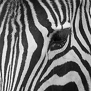 Chapman's Zebra, Equus quagga chapmani in the Cotswold Wildlife Park, Oxfordshire, UK