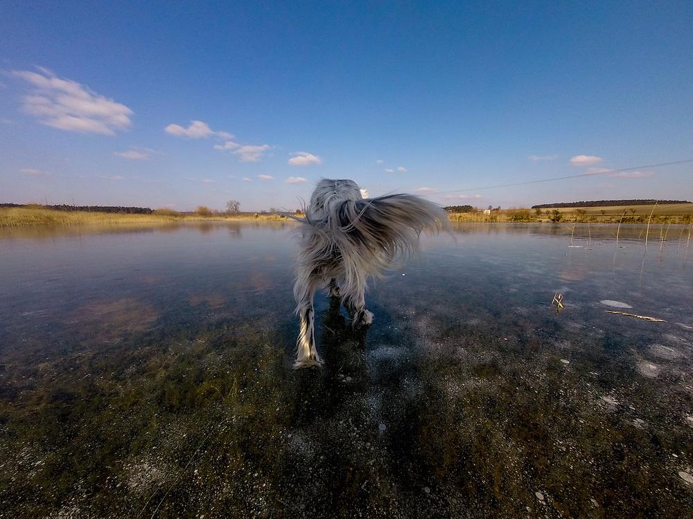 """English Setter """"Rudy"""" läuft am 28.02. 2018 über seinen gefrorenen Teich in Stara Lysa, (Tschechische Republik).  Rudy wurde Anfang Januar 2017 geboren und ist vor ungefähr einem Jahr zu seiner neuen Familie umgezogen."""