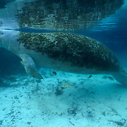 West Indian Manatee, (Trichechus manatus) Adult with back covered with moss in freshwater spring. Florida.