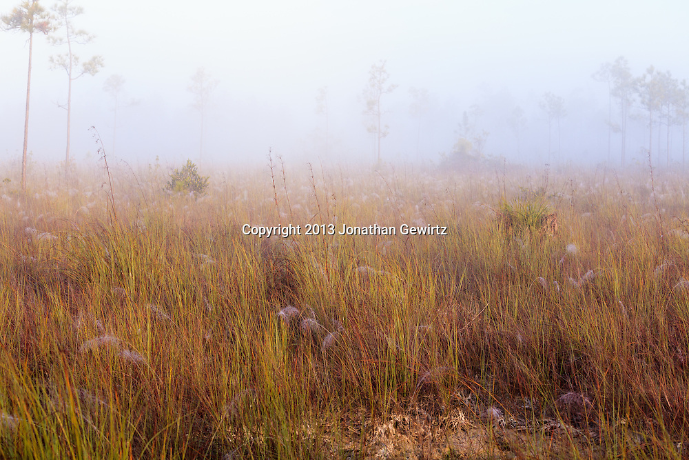 Morning fog covers spider-web-filled sawgrass prairie and pine rocklands near Pine Glades Lake in Everglades National Park, Florida. <br /> <br /> WATERMARKS WILL NOT APPEAR ON PRINTS OR LICENSED IMAGES.<br /> <br /> Licensing: https://tandemstock.com/assets/31437355