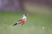 American Robin (Turdus migratorius), Alberta, Canada