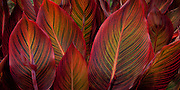 Colorful striped leaves form a  dramatic design