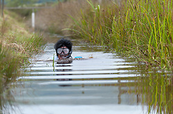 © Licensed to London News Pictures. 30/08/2015. Llanwrtyd Wells, Powys, Wales, UK. Steve Meadows from Laicester dresses as Elvis for the event. World Bogsnorkelling Championships, conceived 30 years ago in a Welsh pub by landlord Gordon Green, are held every August Bank Holiday at Waen Rhydd Bog. Using unconventional swimming strokes, participants swim two lengths of a 55 metre trench cut through a peat bog wearing snorkel and flippers. The world record was broken in 2014 by 33 year old Kirsty Johnson from Lightwater, Surrey, in a time of 1 min 22.56 secs. Photo credit: Graham M. Lawrence/LNP