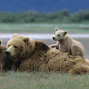 Alaskan Brown Bear (Ursus middendorffi) cubs with their mother in Katmai National Park, Alaska.