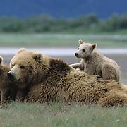 Alaskan Brown Bear (Ursus middendorffi) cubs with their mother in Katmai National Park, Alaska.