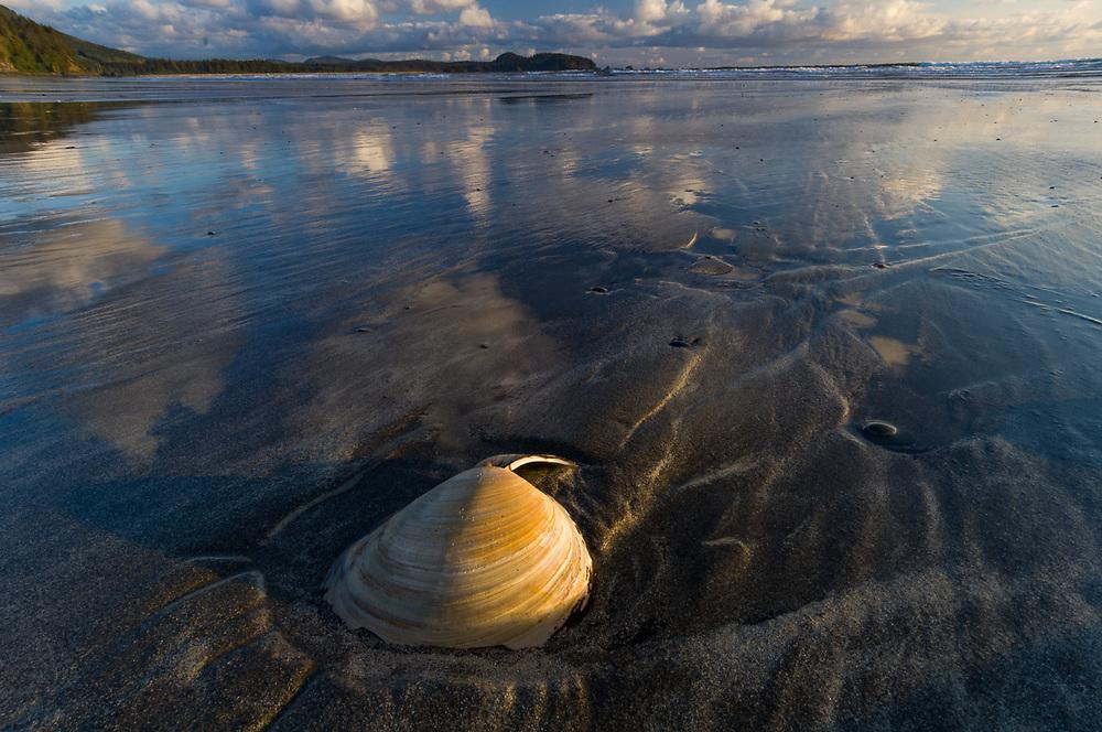 Sand dollar (Dendraster excentricus), May, afternoon light, Pacific Ocean coastline, Washington, USA