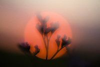 Statice (Limonium gmelinii  spp. hungaricus) in the sunset, Hortobagy National Park, Hungary