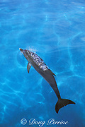 Atlantic spotted dolphin, Stenella frontalis, exhaling at surface, Little Bahama Bank, Bahamas ( Western Atlantic Ocean )