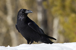 Ravens are among the smartest of all birds, gaining a reputation for solving ever more complicated problems invented by ever more creative scientists. These big, sooty birds thrive among humans and in the back of beyond, stretching across the sky on easy, flowing wingbeats and filling the empty spaces with an echoing croak.