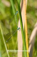 06330-00118 Sphagnum Sprite (Nehalennia gracillis) male and female Cox Wet Meadow Reynolds Co. MO