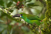 Crimson-rumped Toucanet (Aulacorhynchus haematopygus)<br /> Mindo<br /> Cloud Forest<br /> West slope of Andes<br /> ECUADOR.  South America<br /> HABITAT & RANGE: Humid Andean Forests of Ecuador, Colombia & Venezuela