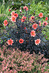 In the perennial border at the Denver Botanic garden, the black-leaved Dahlia Bishop of Llandaff forms a striking combination with a pink Cuphea