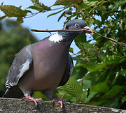 A Woodpigeon (Columba palumbus) carries a contribution for its nest of sticks in a nearby Hornbeam (Carpinus betulus) tree. Arundel, Sussex, UK.