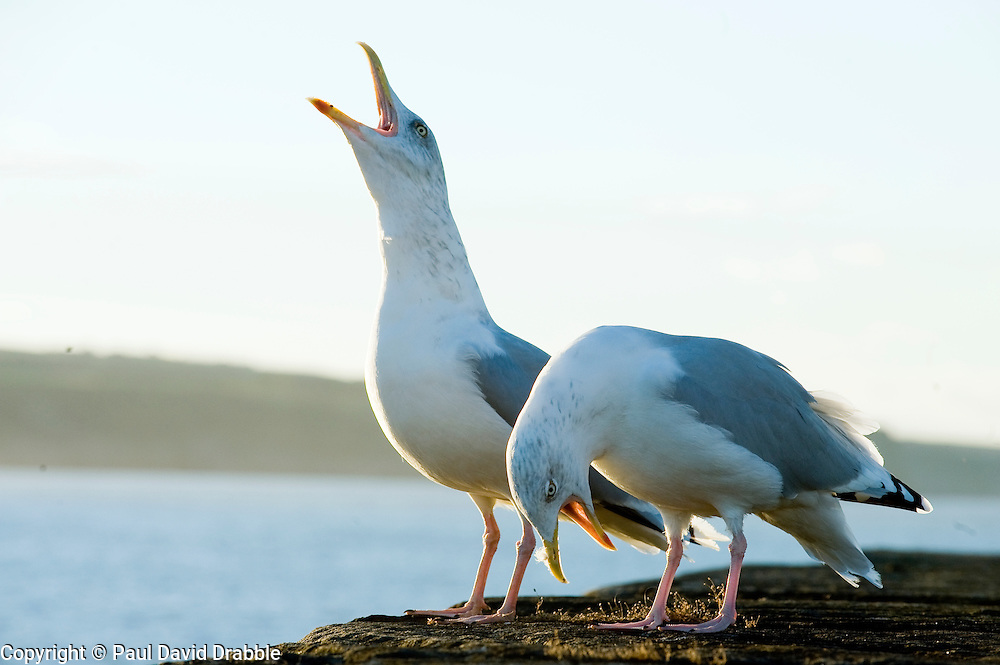 Two Herring Gulls or Seagulls calling out while perched on Whitby Harbour Sea Wall. Latin name Larus argentatus. Usually grey in colour with a yellow bill immature birds aged between one and four years are a mottled brown. September 2010 .Images © Paul David Drabble