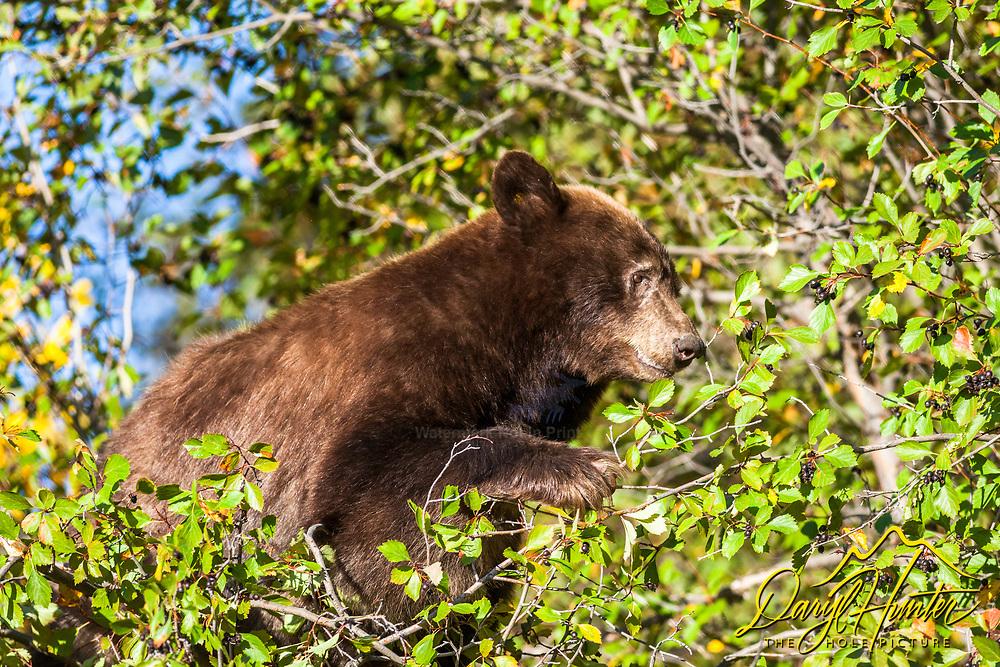 Cinnamon black bear up a choke cherry tree in Grand Teton National Park