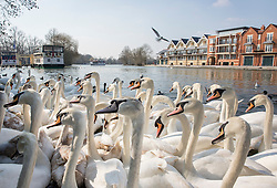 © Licensed to London News Pictures. 17/03/2016. Windsor, UK. Swans crowd the banks of the River Thames in spring sunshine a visitors feed them.  Photo credit: Peter Macdiarmid/LNP