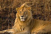 A lioness and lion, Masai Mara National Reserve, Kenya