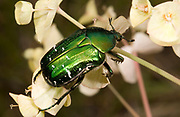 Close up of a bright metallic green rose chafer (Centonia aurata) on white flowers in a coastal habitat, Rovinj, Croatia