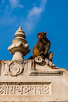 Macaque monkeys at Pashupatinath Temple, a Hindu temple along the Bagmati River in Kathmandu, Nepal. The Bagmati is equally as sacred to Nepalese as the Ganges is to Indians. Hindus come to be cremated here.