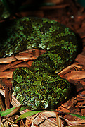 Mang Mountain Viper, Snake,Trimeresurus mangshanensis, Ermia mangshanensis, viperid snake to spit venom and one of the largest viper in world, green pattern skin, poisonous, endangered, listing on Appendix II of CITES, IUCN Red List