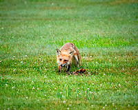 Fox with a early morning meal. Image taken with a Fuji X-H1 camera and 200 mm f/2 OIS lens + 1.4x teleconverter